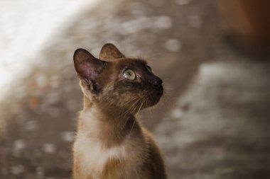 """Картина, постер, плакат, фотообои """"коричневый кот сидит на полу ."""", артикул 231923254"""