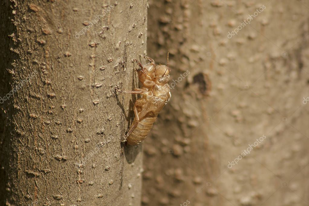 Cicada skin on the treeThat is the cycle of this cycle It began to breed, lay eggs, dodge in the underground. And came up to moult
