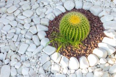 Cactus grows on white pebbles.