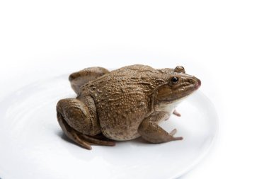 frog isolated on white background,and soft focus