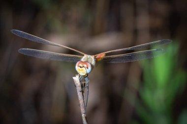 Dragonfly cute eye