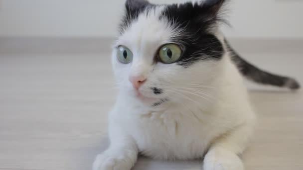 die weiße Hauskatze schaut mit den Hinterbeinen herüber und schaut in die Kamera, Nahaufnahme