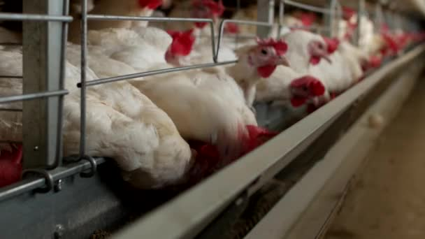 Poultry farm for breeding chickens, chicken eggs go through the transporter, chickens and eggs, farm
