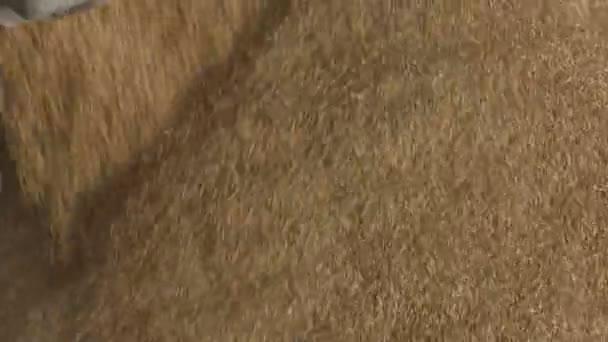 zrna nebo kuří oka pšenice v hromadu, zemědělství
