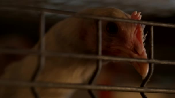 a young broiler chicken looks through the net of the enclosure at the poultry farm, breeding broiler chicks, close-up, chickens