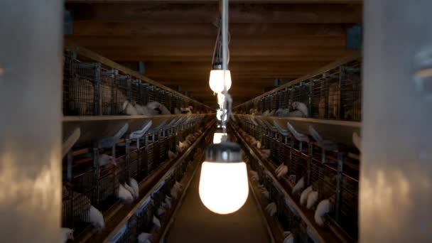 Drůbeží farmy pro chov brojlerů, mladých kuřat sedět v venkovní klece a klování krmné směsi, jatečná drůbež