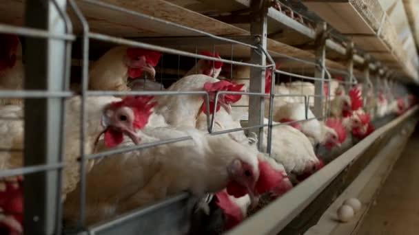 Drůbeží farma pro chov kuřata, kuřecí vajíčka procházejí transportér, kuřata a vejce, továrna