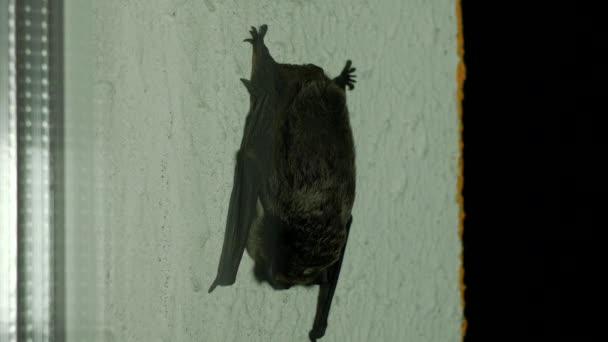 Černý netopýr sedí za oknem v flittermouse domě, detail,