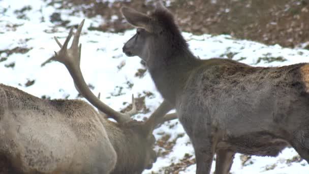 Opravdu velký jelen maral v pozadí snowpark s velkými rohy a daňci, Famulus 4k