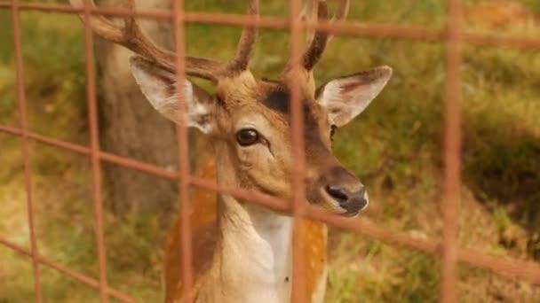 Krásné divoké zvíře spatřil jelena s rohy na pozadí přírody, japonských jelenů, mladá