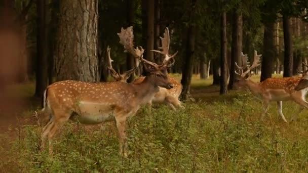 schöne Wildtier gesichtet Hirsch mit Hörnern auf dem Hintergrund der Natur, japanische Hirsche, im Freien