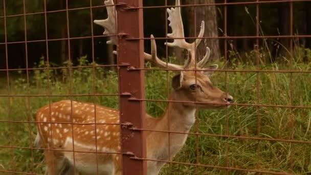 Krásné divoké zvíře spatřil jelena s rohy na pozadí přírody, japonský jelen, skvrnitý