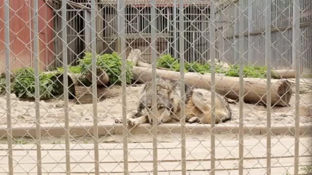 Vlci dobře krmí za mřížemi v zoo, zblízka, Europaeischer