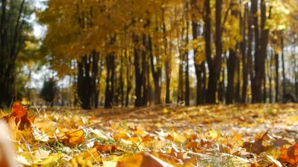 Padlé javorový lístky leží na podzim v městském parku. Pád listí v lese za slunečného dne. Krásná příroda pro pozadí