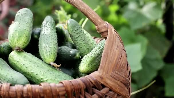 uborkát szedni a kertből egy kosárban az országban. A földön termesztett természetes zöldségek, háttér, szövegmásolási hely, szabadtéri