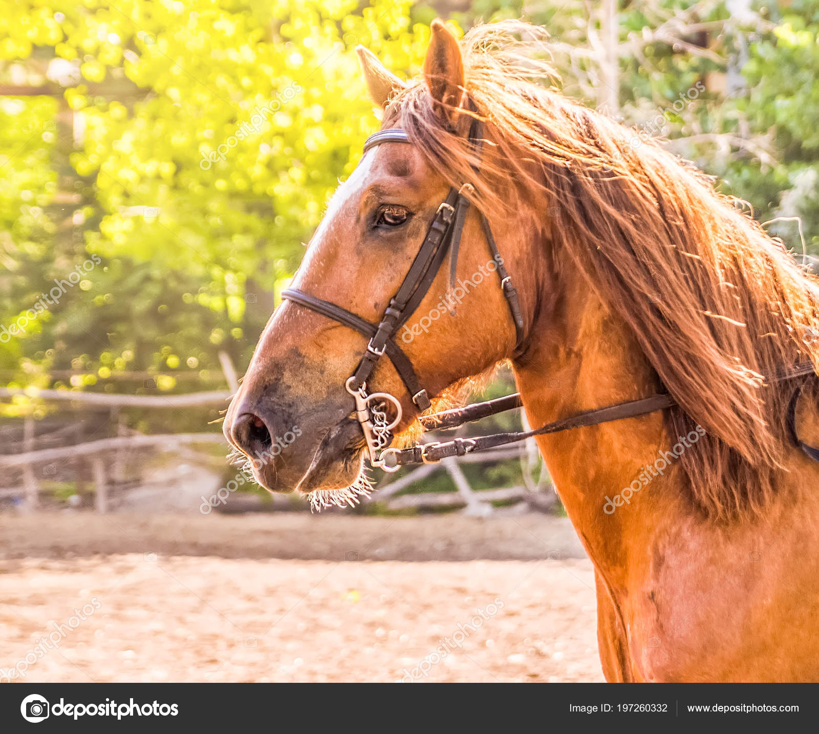 Sorrel Horse Side View Head Shot Bay Stallion Portrait Thoroughbred Stock Photo C Martanovak 197260332