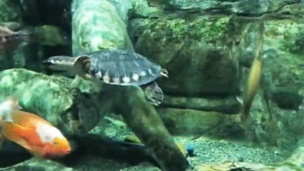 Orrú teknős úszás édesvíztartályban, körülvéve különböző halak és növények, közelkép lövés.
