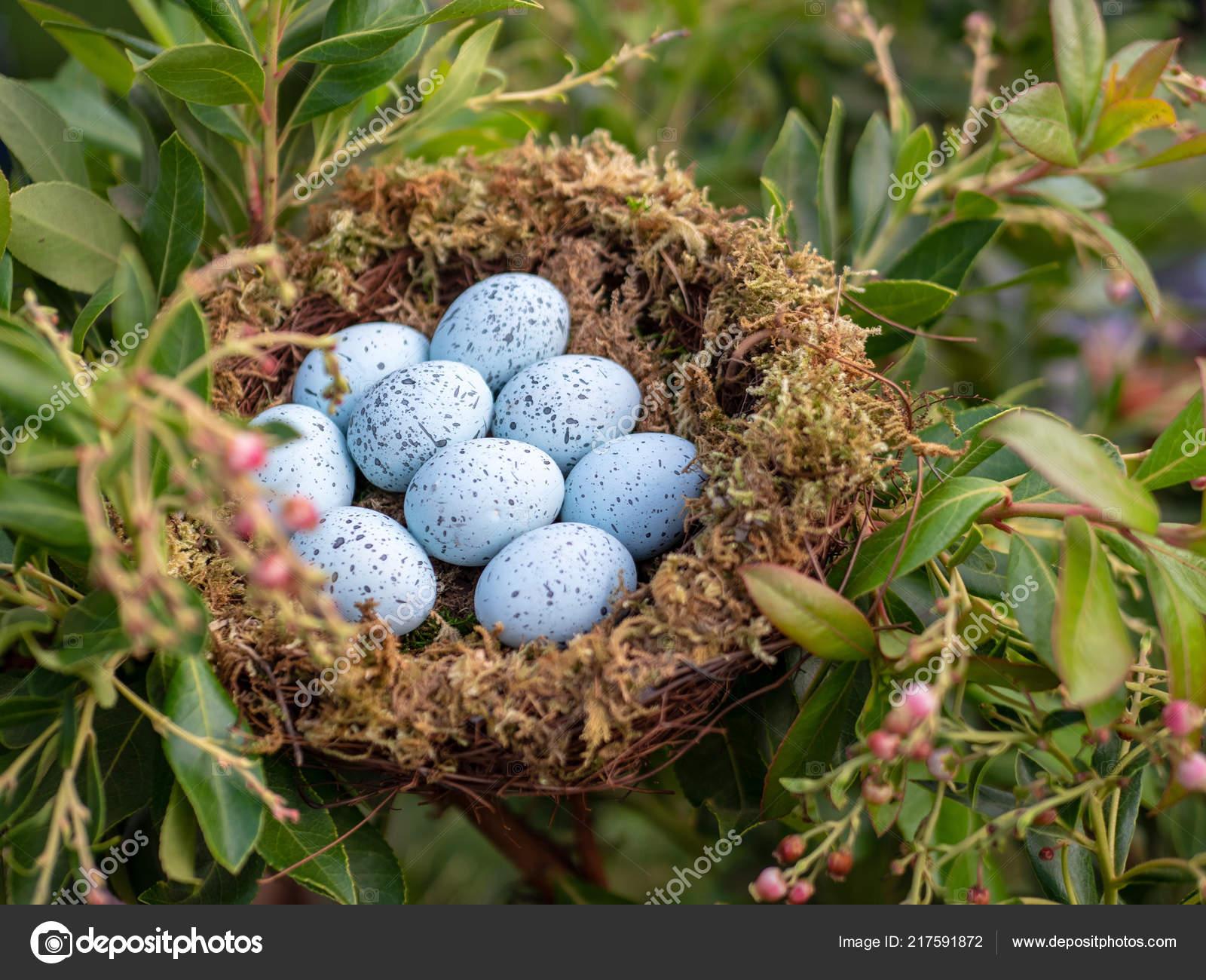 blue jay eggs - HD2000×1500