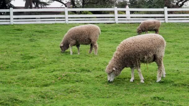 Schafe weiden und laufen auf Gras in eingezäuntem Gelände