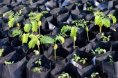 Fotografie tamarind saplings of young plants in a bag black, plantation farming of tamarind (selective focus)