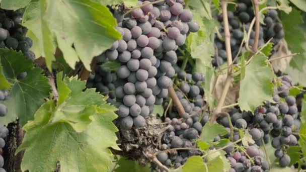 Bunches of red Grapes Hanging in Vineyard