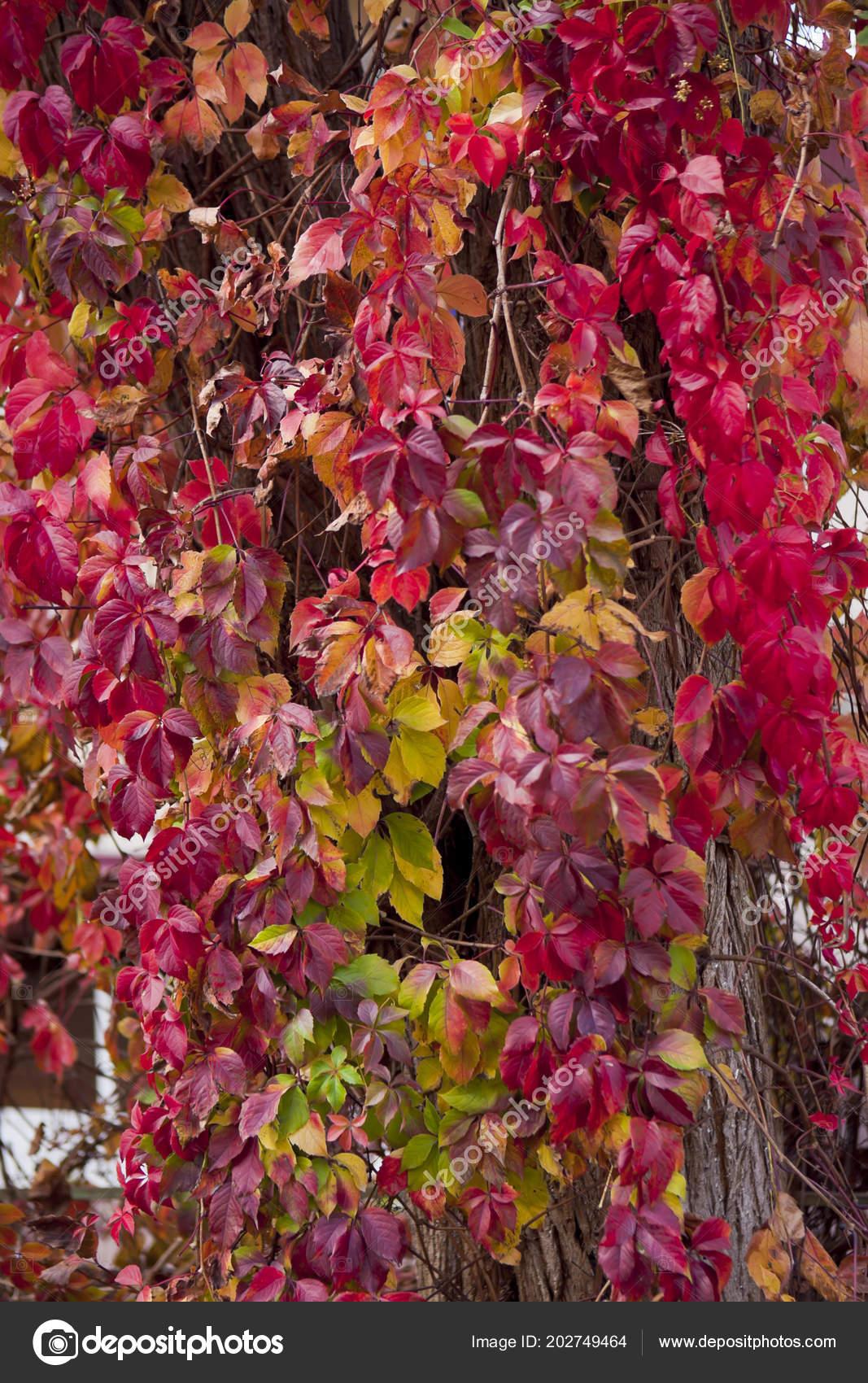 feuilles rouge automne liane grimpant arbre — photographie gvardy