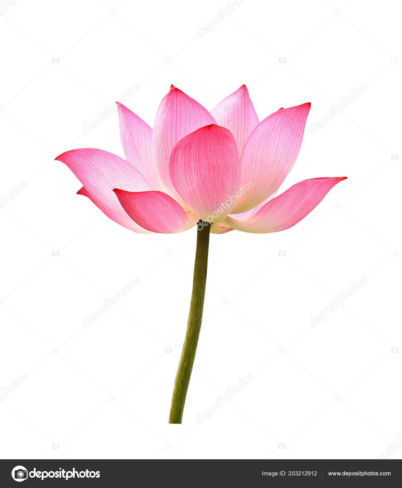 Lotus Flower White Background Stock Photo Krongkrang26gmail