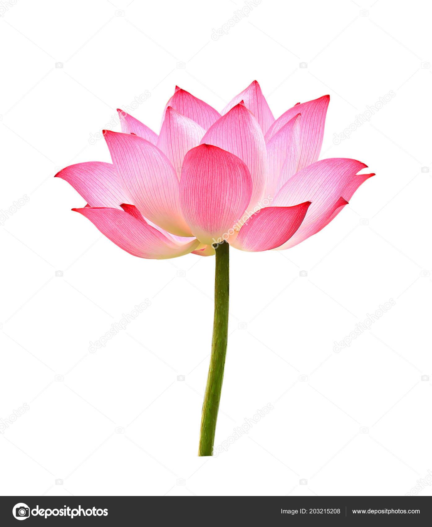Lotus flower white background stock photo krongkrang26gmail lotus flower white background stock photo izmirmasajfo