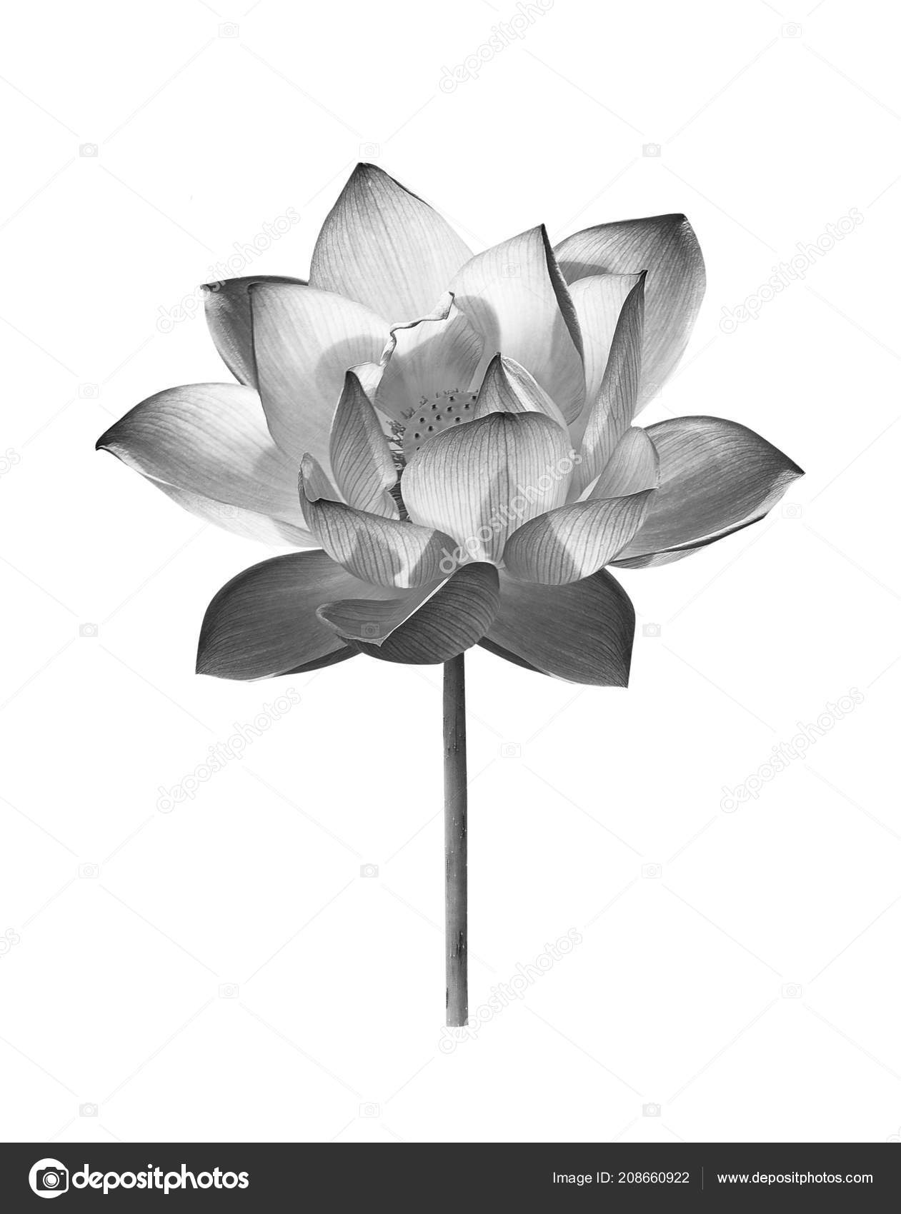Black Lotus Flower White Background Stock Photo Krongkrang26