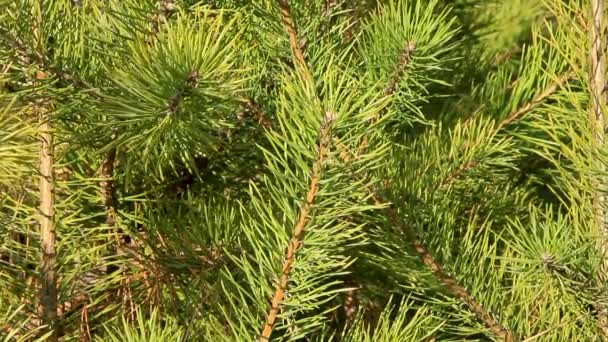 spruce green branches close-up, fon for new year mood