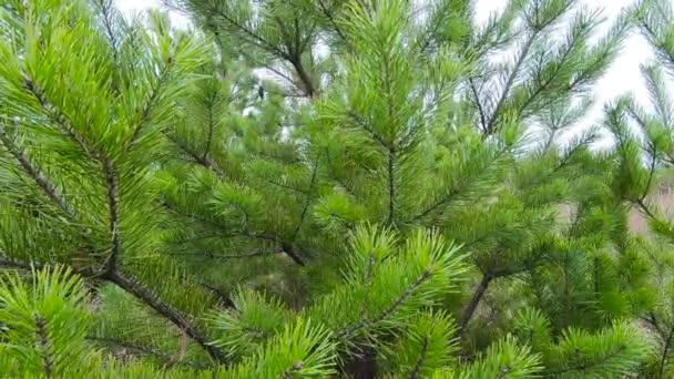 Buja lucfenyő zöld ágak lengenek a szélben egy meleg nyári napon.