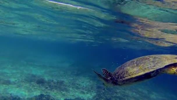 Big Sea Turtle Diving towards the Bottom of the Ocean Floor with Full of Colors
