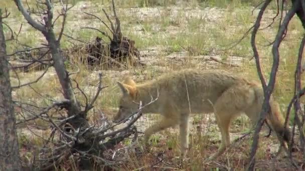 Prérifarkas vadászat részére élelmiszer-zöld rét