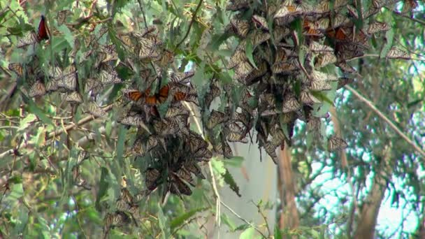 A Swarm of Beautiful Colorful Butterflies in Monarch Butterfly Grove Hanging by the Leaves of a Tree