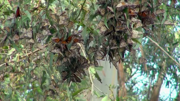 Roj krásné barevné motýly v Monarch Butterfly Grove visí listy stromu