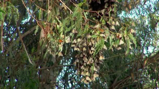 Motýli, vypadá jako listí na stromě v Monarch Butterfly Grove v Kalifornii Usa