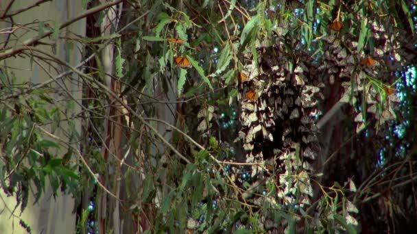 Motýly skrýval mezi listy stromu v Monarch Butterfly Grove