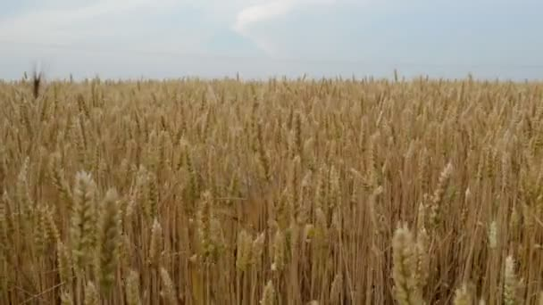Golden wheat field ready to be harvested. Agricultural concept