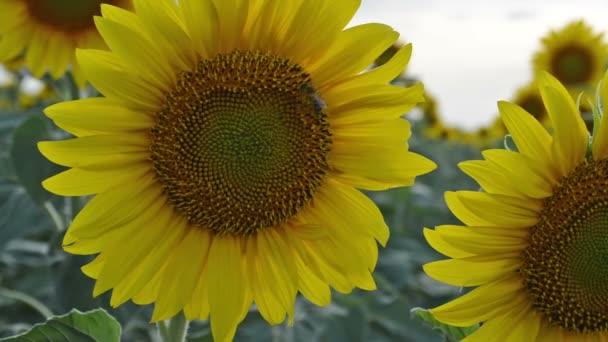 Slunečnice v plném květu, tančí ve větru.