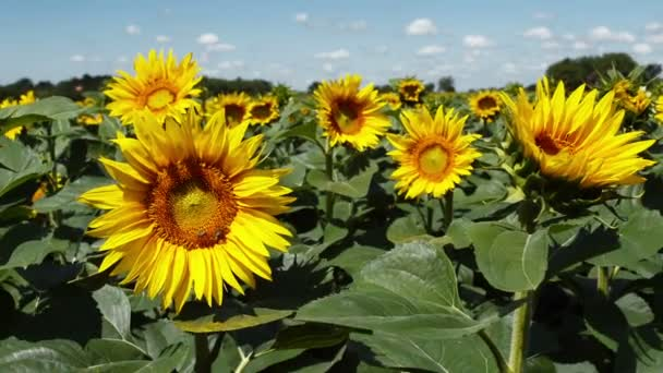 Slunečnice, kvetoucí v poli pěstují zemědělské plodiny