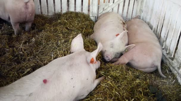 Pigs on the farm, agribusiness concept