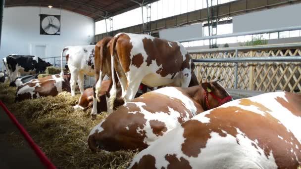 Svatopalní krávy ve stodole, koncepce chovu zvířat