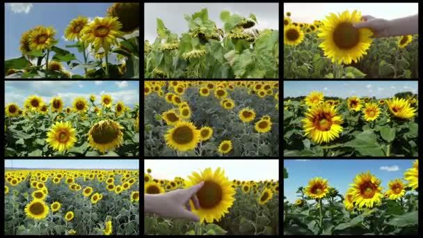 Több képernyős mezőgazdasági videó kollázs a napraforgó területén. A különböző mezőgazdasági tevékenységek során termesztett növények és mezőgazdasági dolgozók felvételeit élelmiszertermelésre és bioüzemanyagra