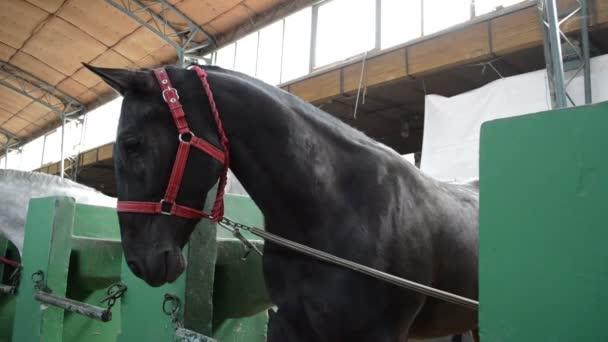 Černý kůň vyhlížel ze stáje