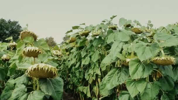 Slunečnice v obdělávaných polích připravená k sklizni