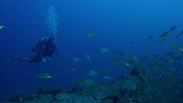 Diver swims with a large school of fish tomates grunts, Haemulon aurolineatus, North Carolina, Aug. 2016