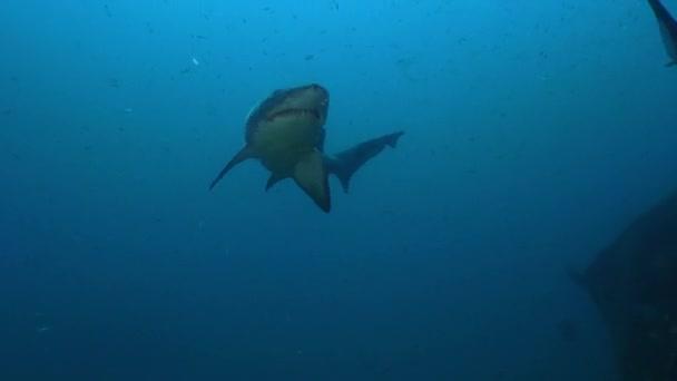 Gefleckter Zahn-Hai - Sandtigerhai - Carcharias taurus schwimmt in einem Wrack, nc, aug 2016
