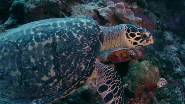 A Hawksbill Sea Turtle surrounded by tropical fish feeding on a coral reef, slow motion