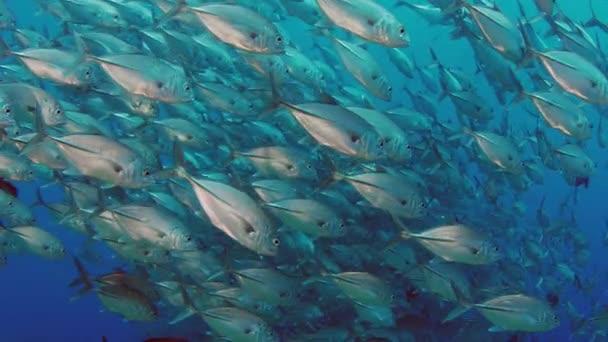 Obrovská škola z Jackss (Caranx latus, Jacka oku koně) v otevřeném oceánu, Indonésie, Zpomalený pohyb, střílel na červené