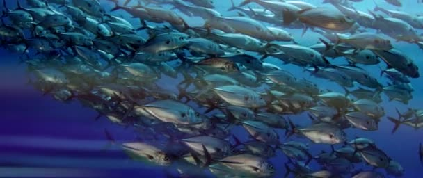 Obrovské školy z konektorů (Caranx latus, Jacka oku koně) v otevřeném oceánu, Indonésie, Zpomalený pohyb, střílel na červené